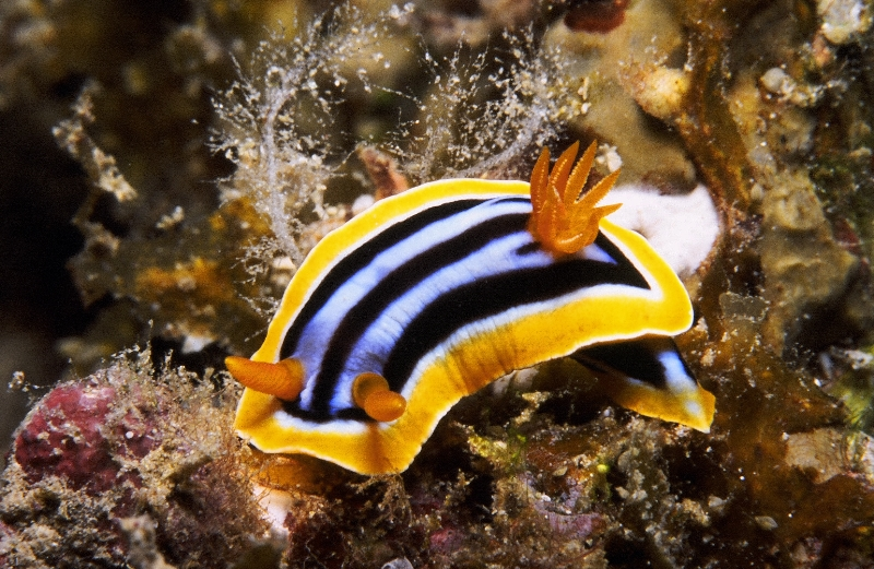 Nudibranch in Bunaken National Park
